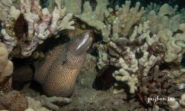 white mouth moray