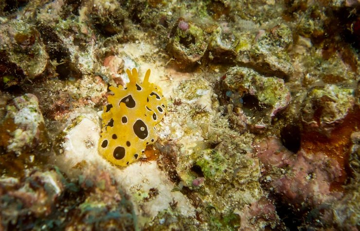 Scrambled Egg Nudibranch