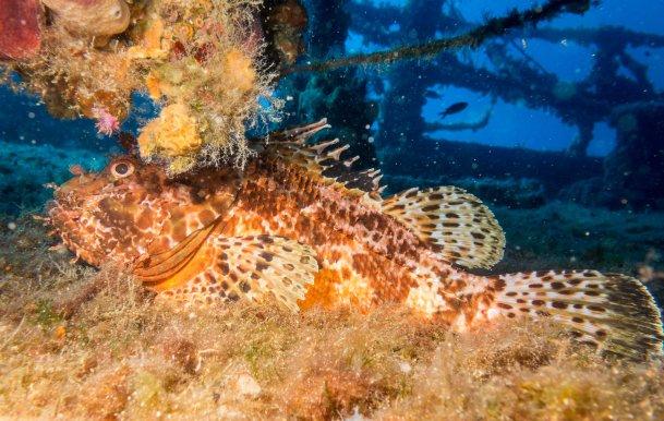 Scorpion fish - Adriatic sea