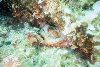 Octopus - Adriatic Sea