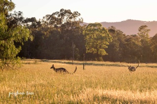 Kangaroos at Sunrise Hunter Valley