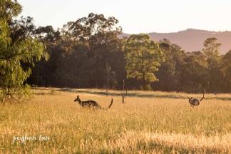 Kangaroos at Sunrise Hunter Valley