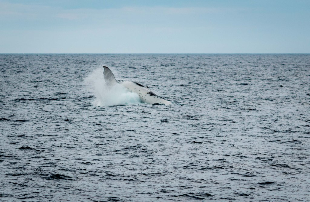 Whale breaching at Port Stephens