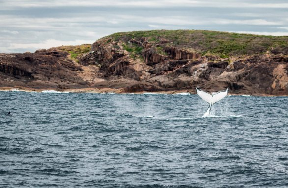 Whale tail Port Stephens