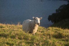 Sheep on Urupukapuka Island