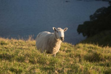 Sheep on Urupukapuka Island