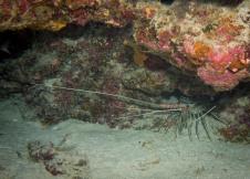 Lobster - Tubbataha Reef Philippines