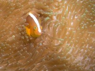 Clown fish - Tubbataha Reef Philippines