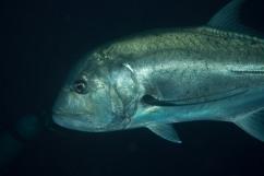 Jack - Tubbataha Reef Philippines