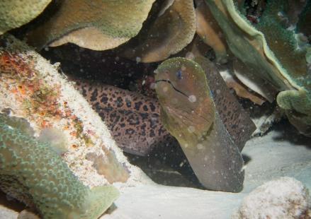 Moray Eel Tubbataha Reef Philippines