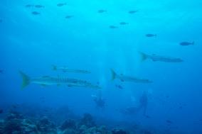 Barracuda - Tubbataha Reef Philippines