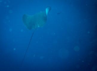 Stingray - Tubbataha Reef Philippines