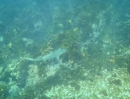 Dusky whaler shark - Manly to Shelly Swim