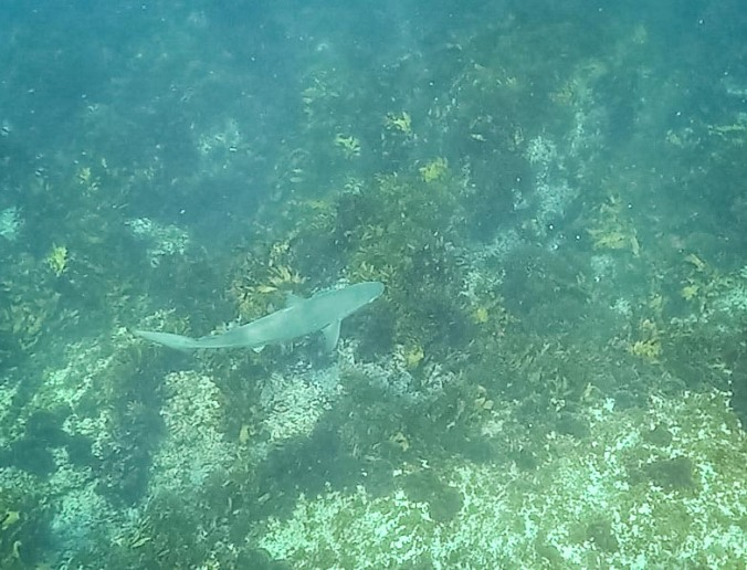 Dusky whaler shark - Manly to Shelly Swim