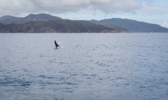 Baby Whale Breaching - Great Barrier Reef