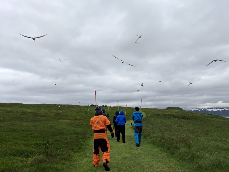 Fending off the possessive arctic terns with wooden sticks raised above our heads - Vigur Iceland